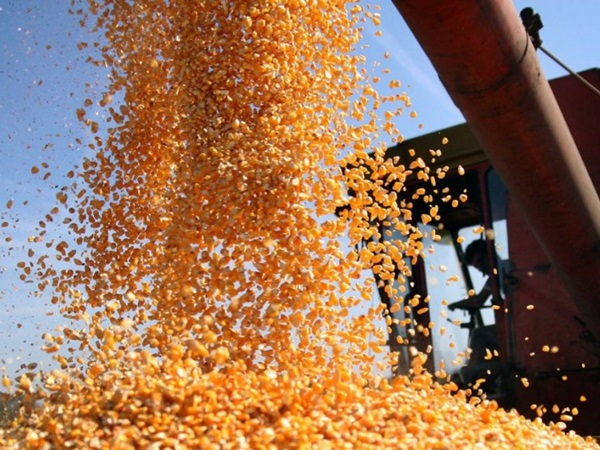 Javni poziv: Merkantilni kukuruz za tovnu stoku